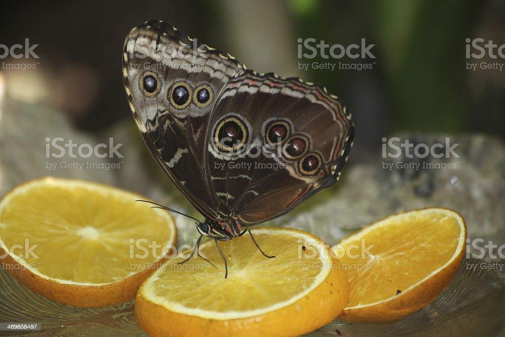Single Butteryfly on an Orange Slice stock photo