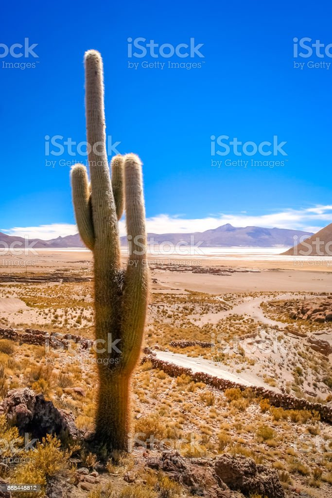 Single cactus growing on a pampa in Bolivia stock photo