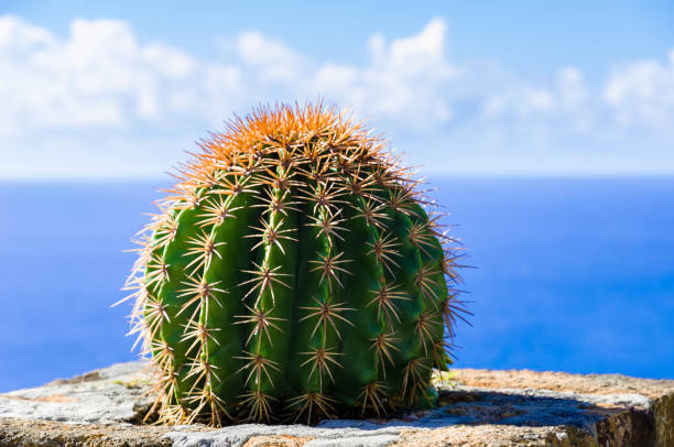 Single cactus with blue ocean and cloudy sky in the background stock photo