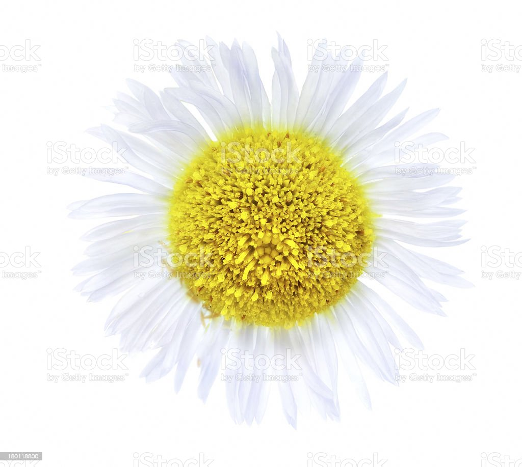 Single camomiles isolated on a white background royalty-free stock photo