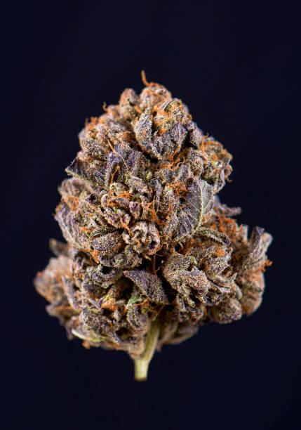 Single cannabis bud (berry noir strain) isolated on black stock photo