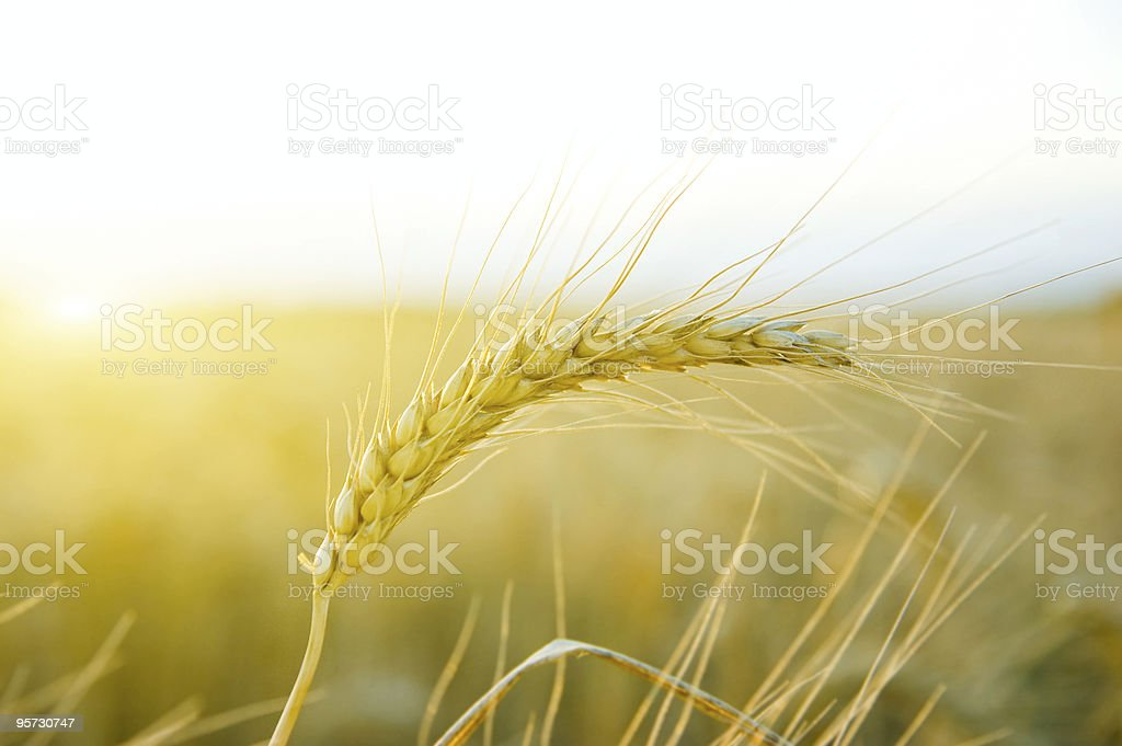 single cereal royalty-free stock photo