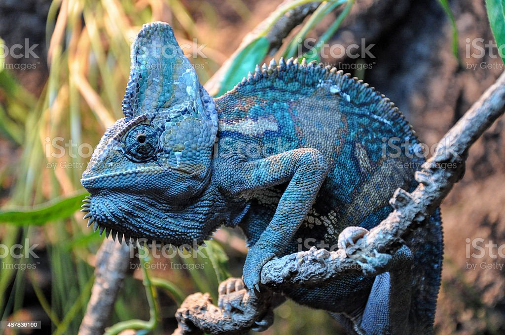 single chameleon on a branch, close up stock photo