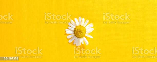 Single chamomile flower on a bright yellow paper picture id1254497378?b=1&k=6&m=1254497378&s=612x612&h=cunaytnmrsptz7uqvoswedd r1rxf1nuibe7gegpohm=