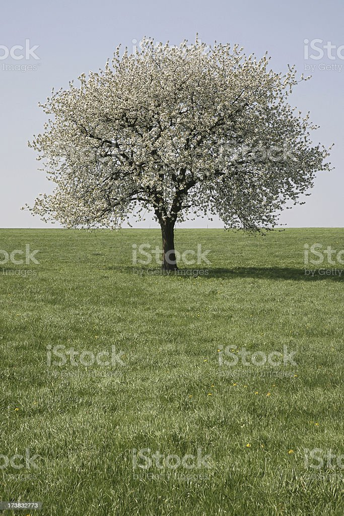 single cherry tree royalty-free stock photo