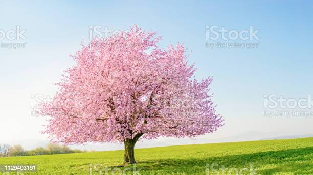 Single cherry tree sakura on a green meadow picture id1129403191?b=1&k=6&m=1129403191&s=612x612&h=0yw114wulra3pwzrptdqxbjp5fjtoda43egjsx0n92g=