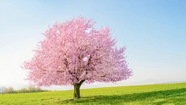 緑の牧草地に一本の桜の木さくら ストックフォト