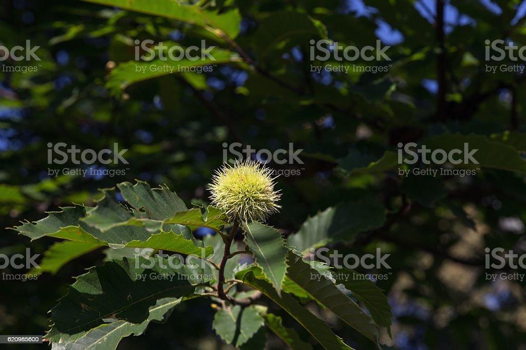 Single chestnut on a tree branch foto royalty-free