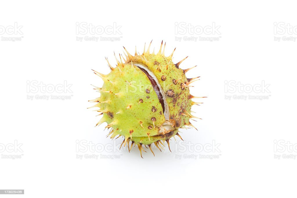 Single Chestnut royalty-free stock photo