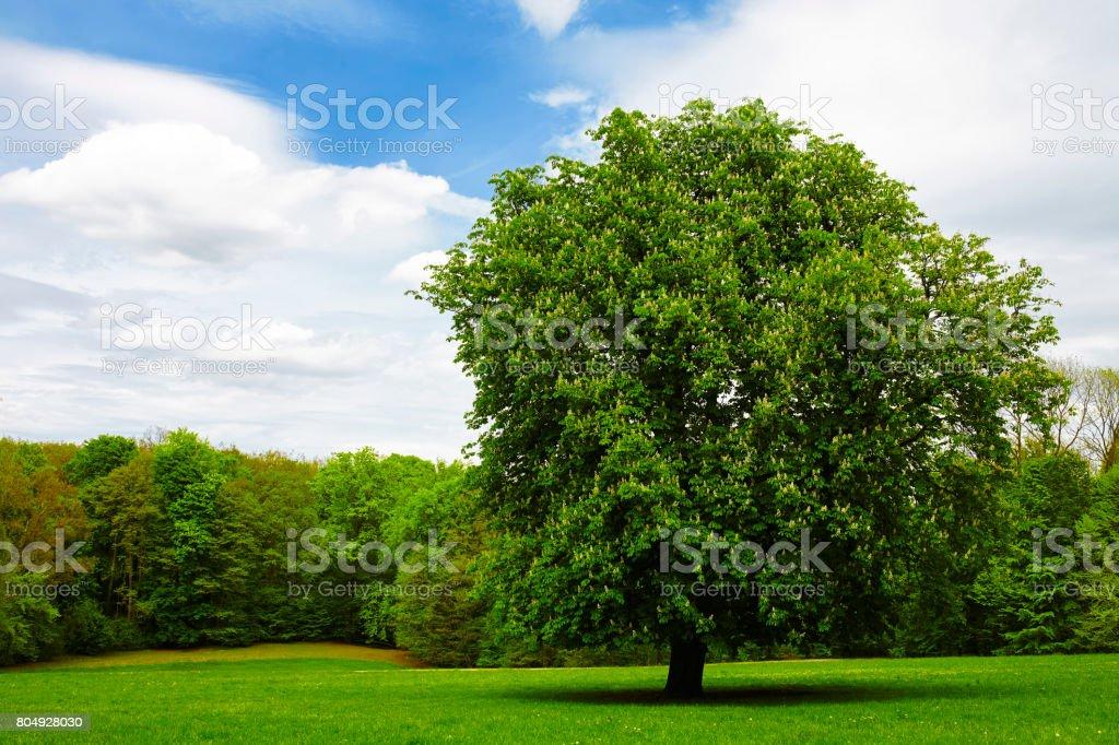 single chestnut tree on green meadow stock photo