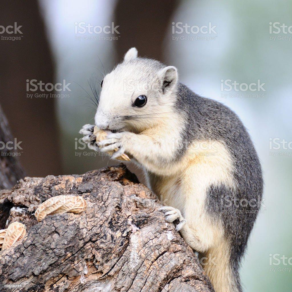 Single chipmunk eating peanut on tree. foto royalty-free