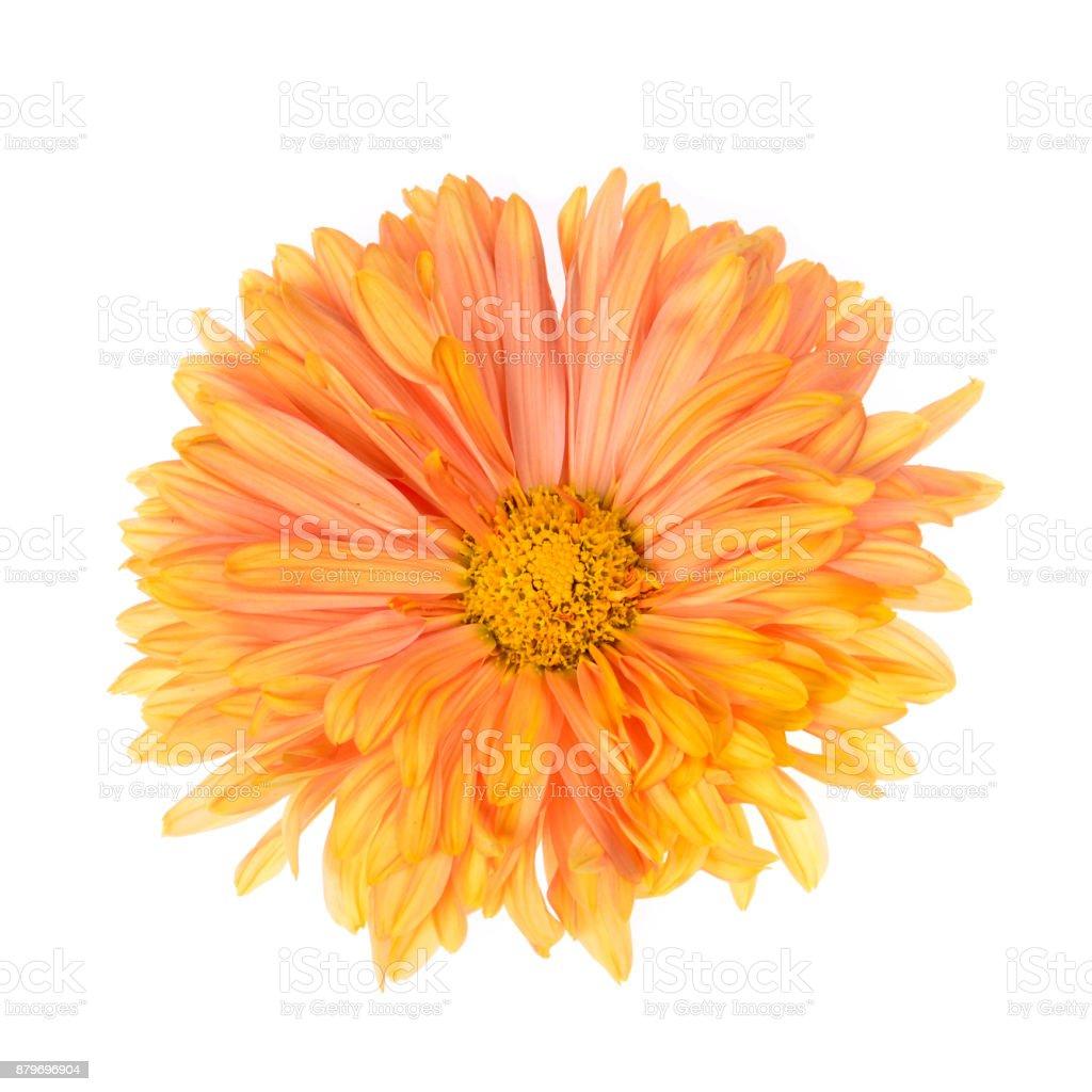 Single  chrysanthemum flower head isolated stock photo
