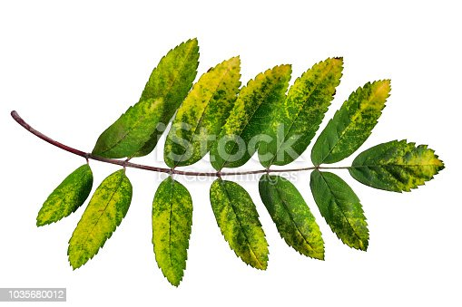 istock Single colorful autumnal rowan leaf close up on white background 1035680012
