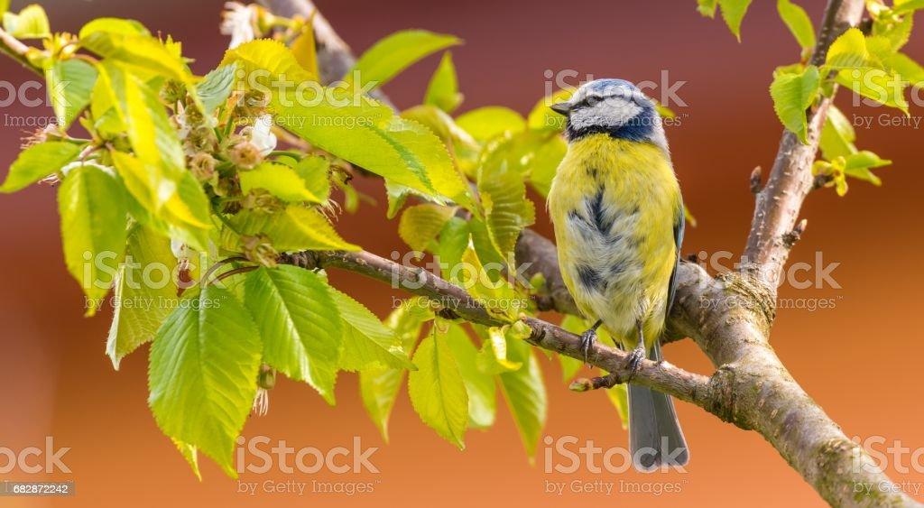 Single colorful blue tit bird on cherry tree stock photo