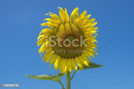 Single Colorful Sun flower in blue sky
