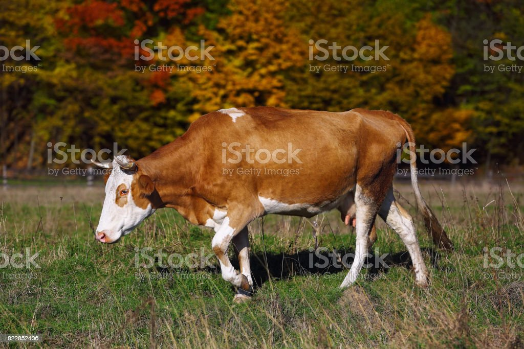Single cow grazes near colorfull Autumnal forest stock photo