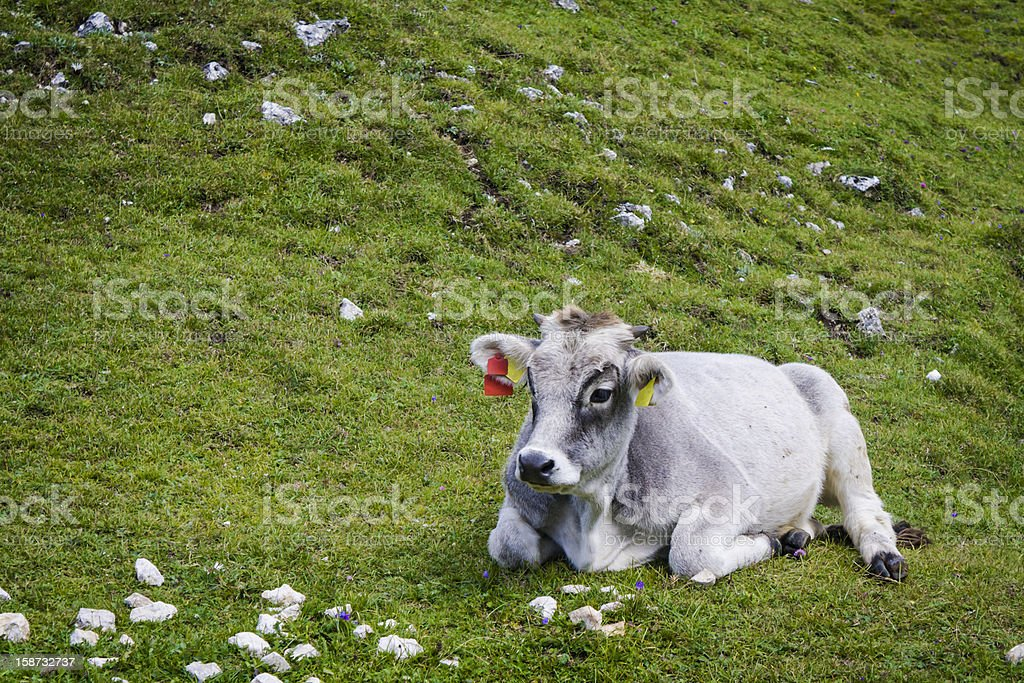 single cow lying on green grass royalty-free stock photo