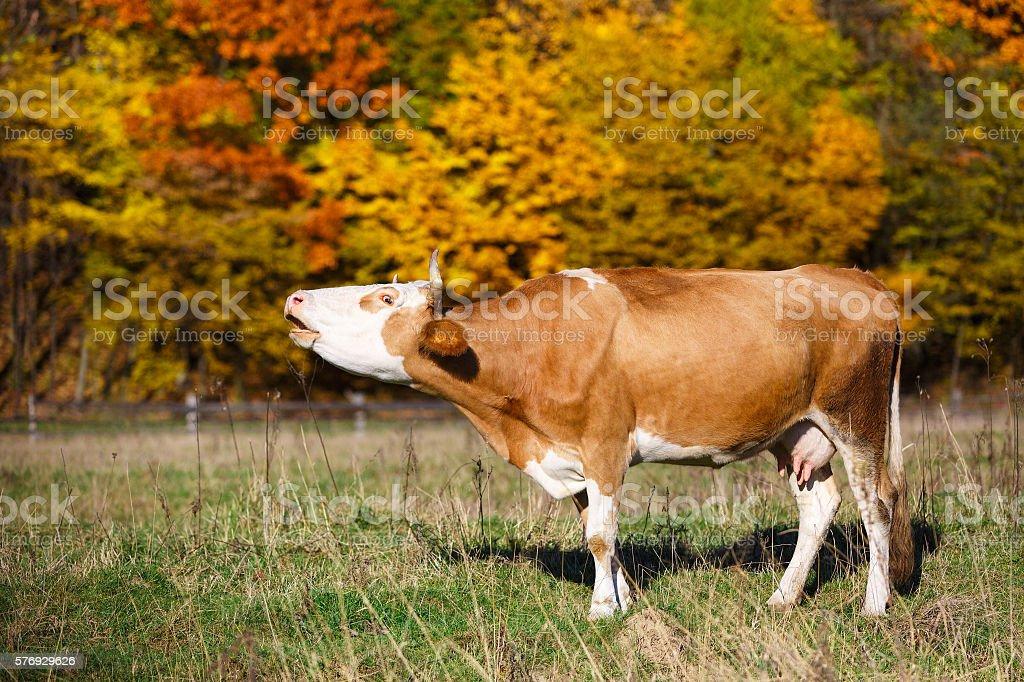 Single cow moos in field. Blazing orange maple tree highlights stock photo