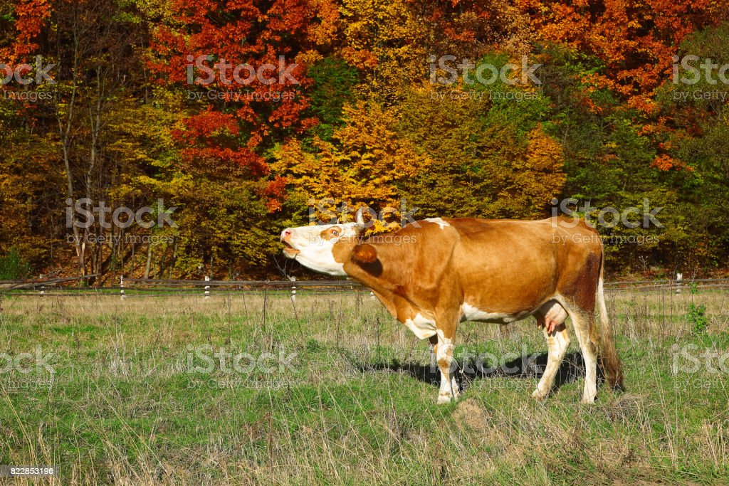 Single cow moos near colorfull Autumnal forest stock photo
