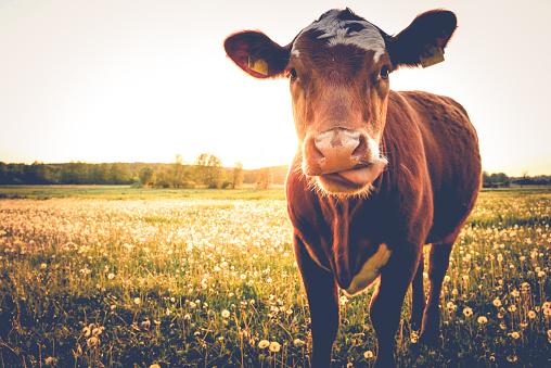 Foto de Uma Única Vaca Em Um Pradofeliz Modo De Exibição e mais fotos de stock de Agricultura