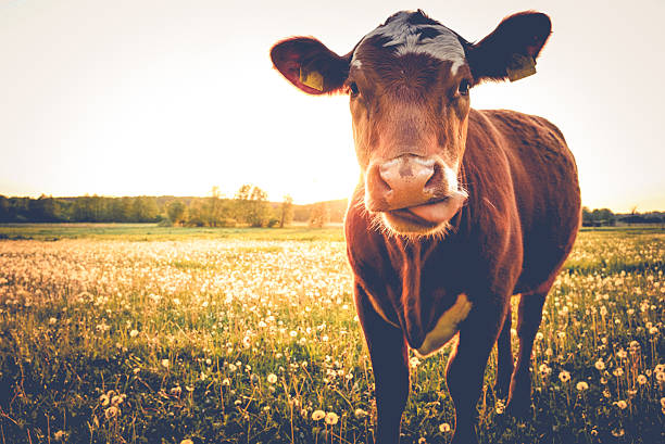 Single Cow on a meadow-happy view Cow on a meadow during sunset-close up herbivorous stock pictures, royalty-free photos & images