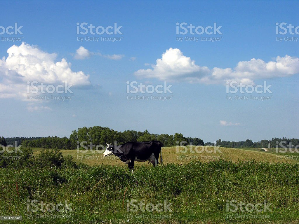 Single cow on pasture royalty-free stock photo