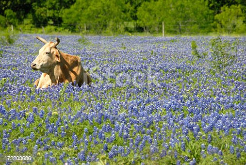 Selective focus of a single, light brown cow with horns, resting peacefully in a field of bluebonnets in the Brenham, Texas area.  The cow is to the left of center in a horizontal color image taken in the afternoon.  The pretty green color of trees in the background and the low angle of the shot (no sky) gives this a very pleasing feel.