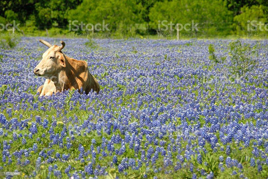 Single Cow Resting In A Field Of Texas Bluebonnet Wildflowers stock photo