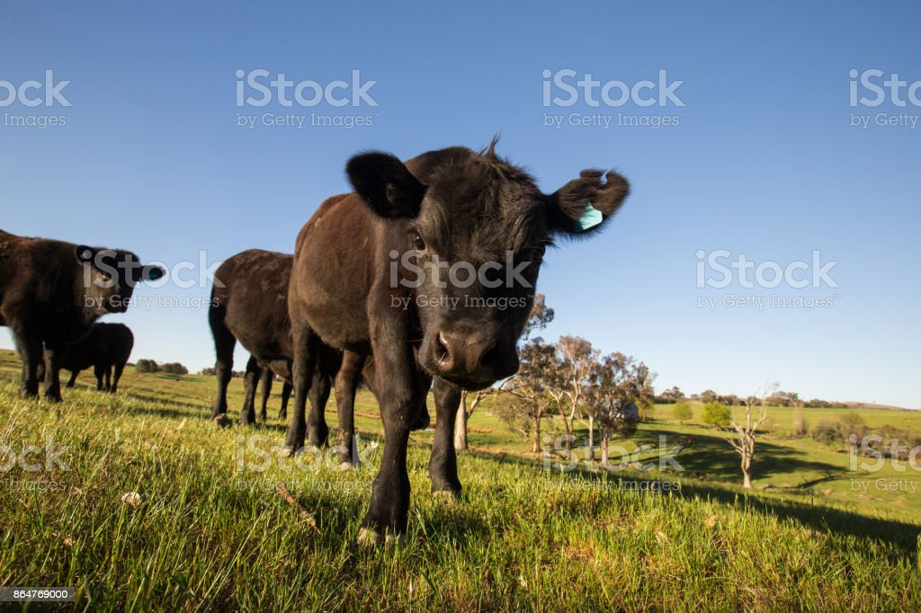 A single curious cow leaves the pack to investigate stock photo