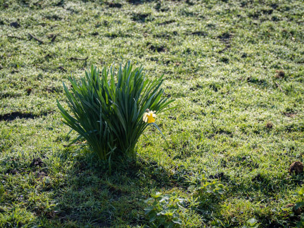 Single daffodil Narcissus flower in a field of green stock photo