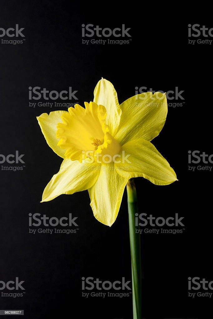Singolo Narciso su nero foto stock royalty-free
