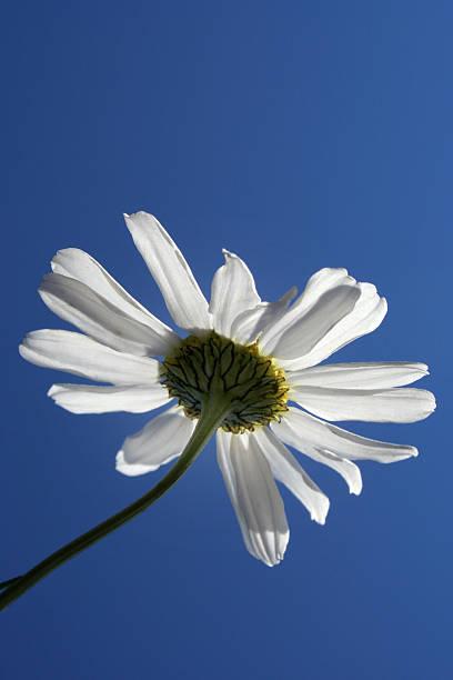 single daisy flower on blue stock photo