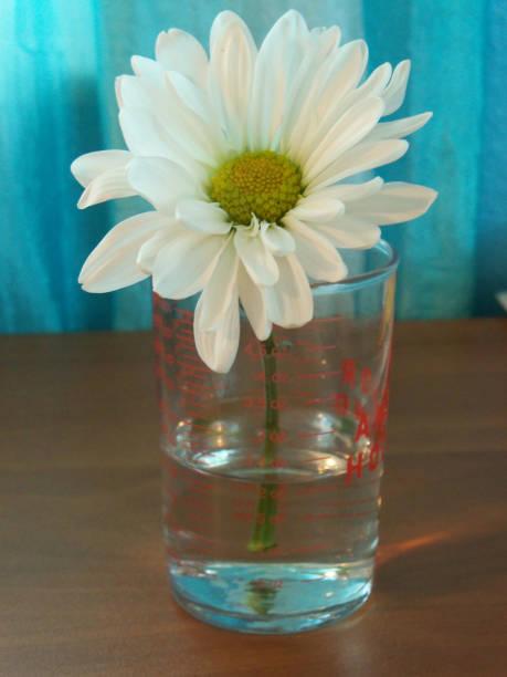 Single daisy in a glass beaker stock photo