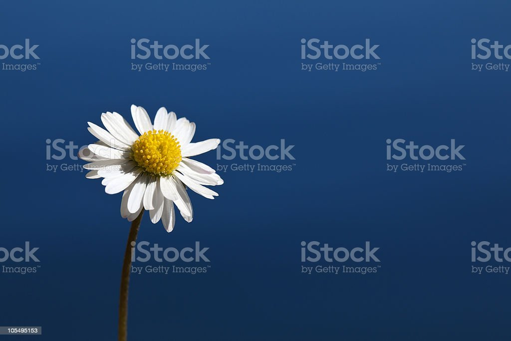 single daisy stock photo