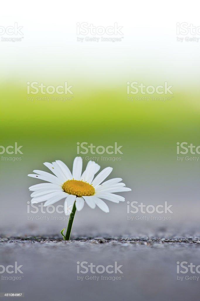 Single daisy royalty-free stock photo