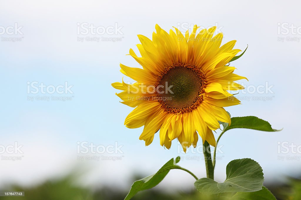 single daisy sunflower in field against sky royalty-free stock photo