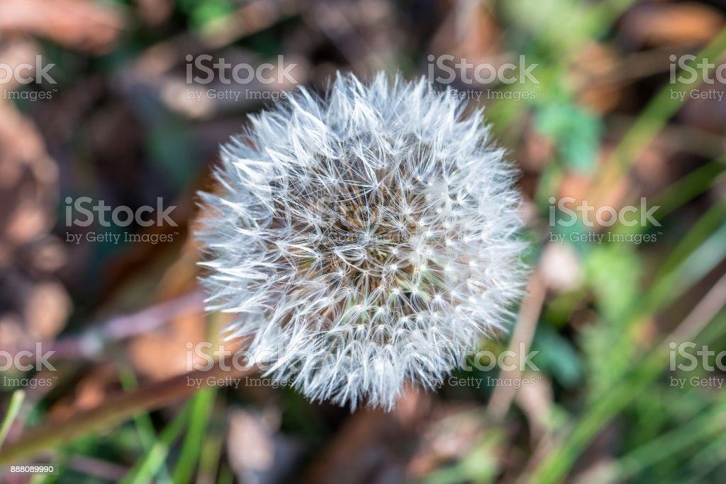 Single Dandelion flower at autumn stock photo