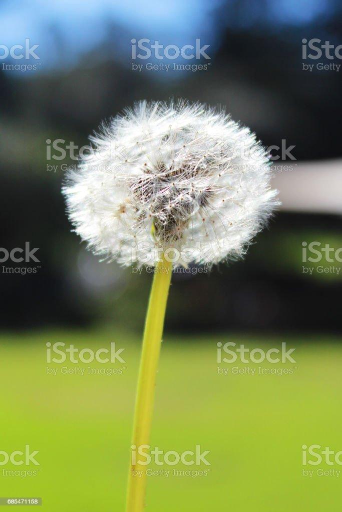 Single Dandelion Flower foto de stock royalty-free