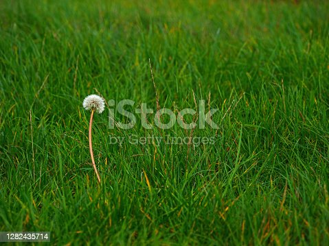 Single dandelion in a field stand out of the crowd