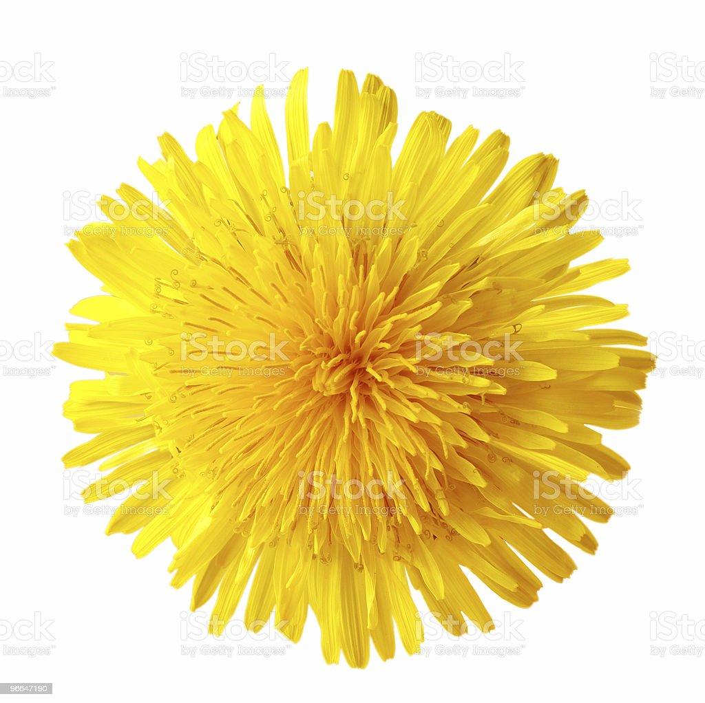 Single Dandelion royalty-free stock photo