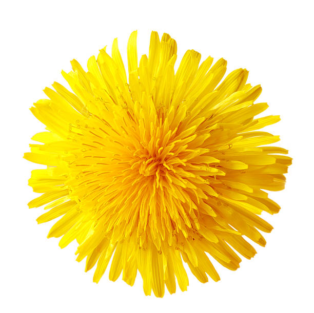 single dandelion - paardenbloem stockfoto's en -beelden