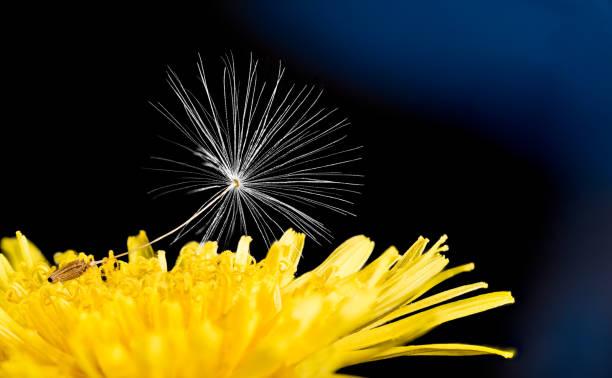 Single dandelion seed. Yellow flower head, artistic detail. Taraxacum officinale stock photo