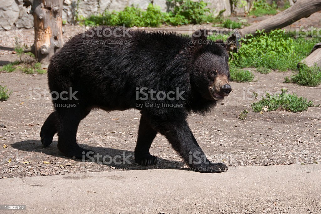 Single dangerous Asian black bear (Ursus thibetanus) stock photo