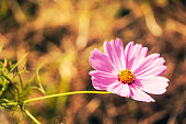 A single dark pink cosmos in the forward light, from the front side