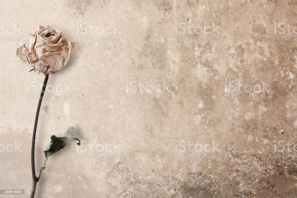 Single dead pink rose against grunge background stock photo