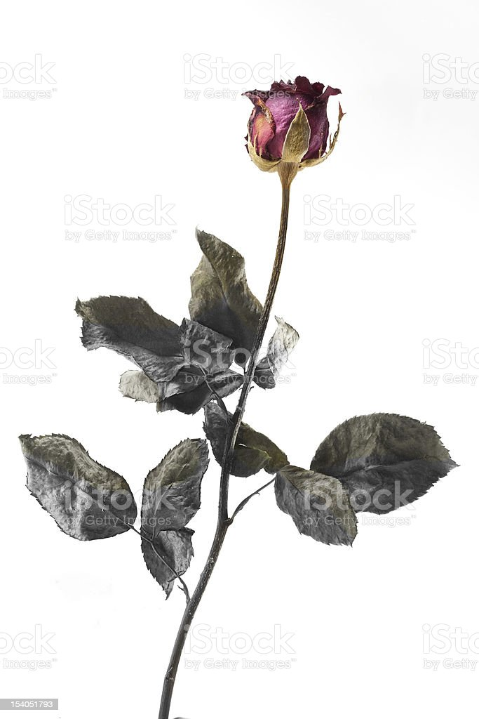 Single Dead Rose Isolated White Background Royalty Free Stock Photo