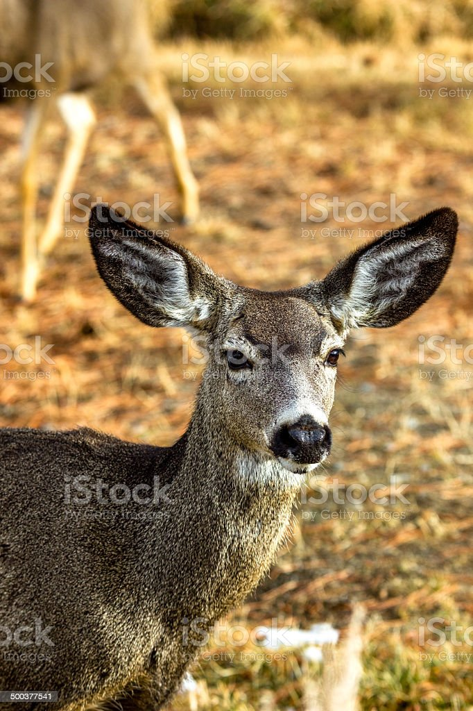 Single deer looking forward with ears up listening stock photo