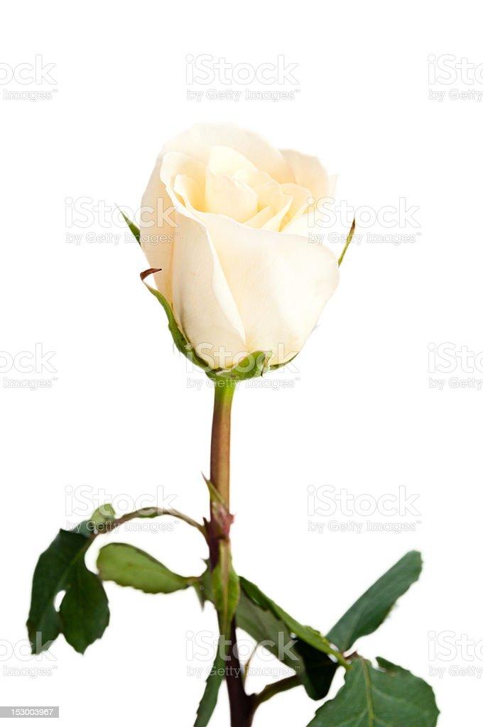 Single delicate yellow rose on isolating background stock photo