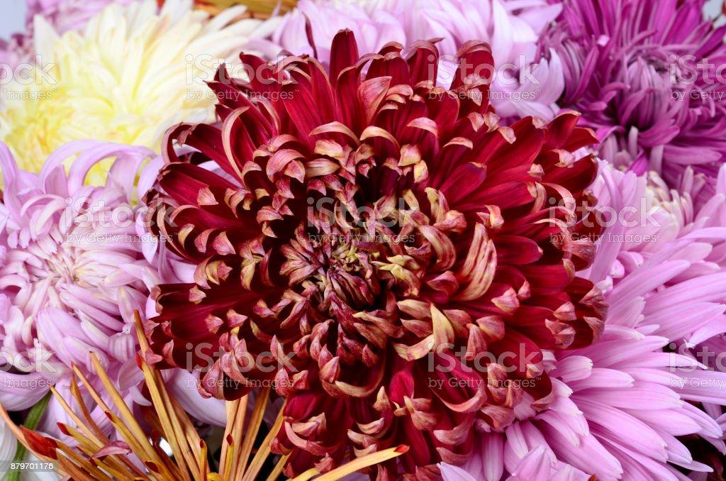 Single different colors chrysanthemum flower head stock photo
