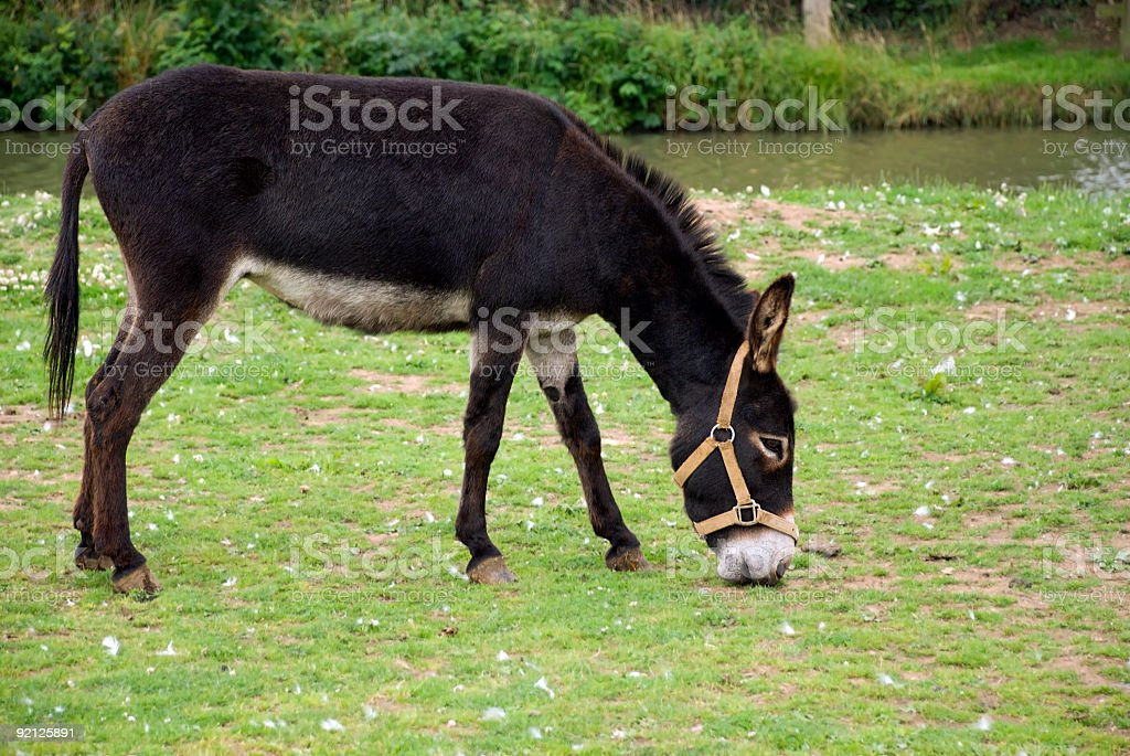 Single donkey grazing royalty-free stock photo